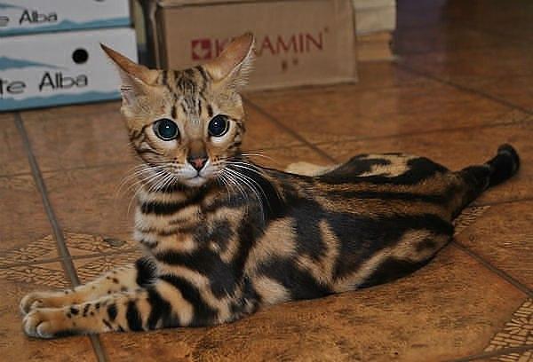 бенгал кот фото мраморный были глубоко