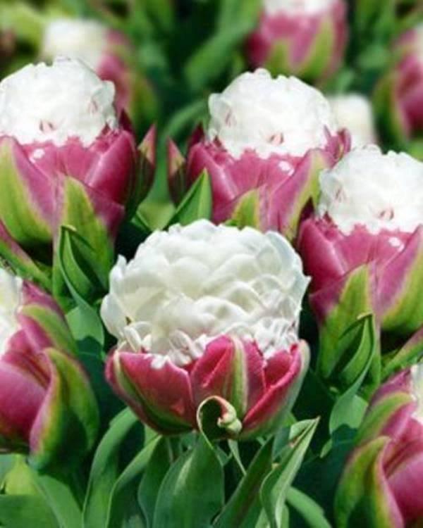 Заказать цветы тюльпан сорта пломбир, сделать оригинальный букет