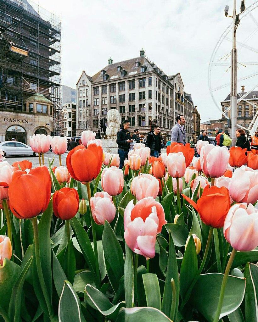 картинка города голландия тюльпаны