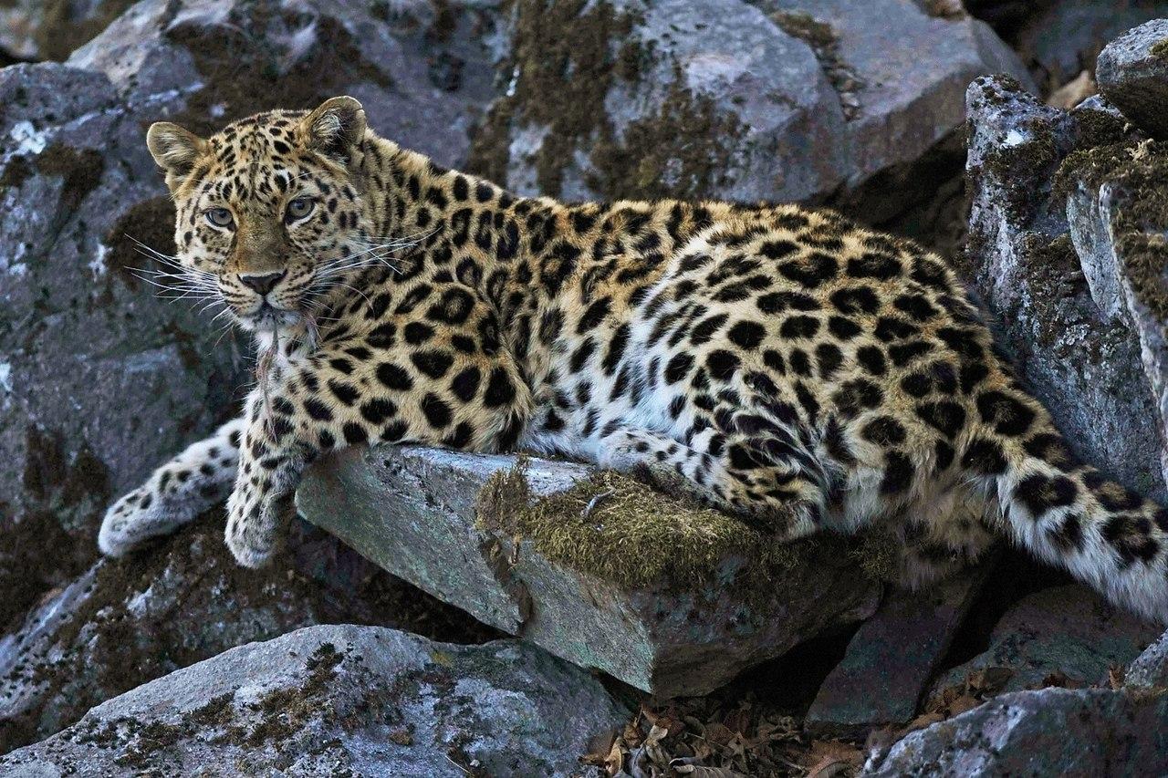 удачно амурский леопард фото и описание преимущества