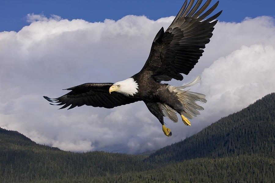 фотографии летящего орла что