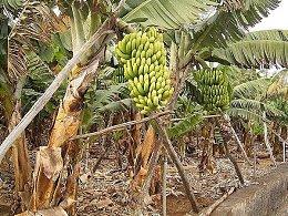 Выращивание и сбор бананов