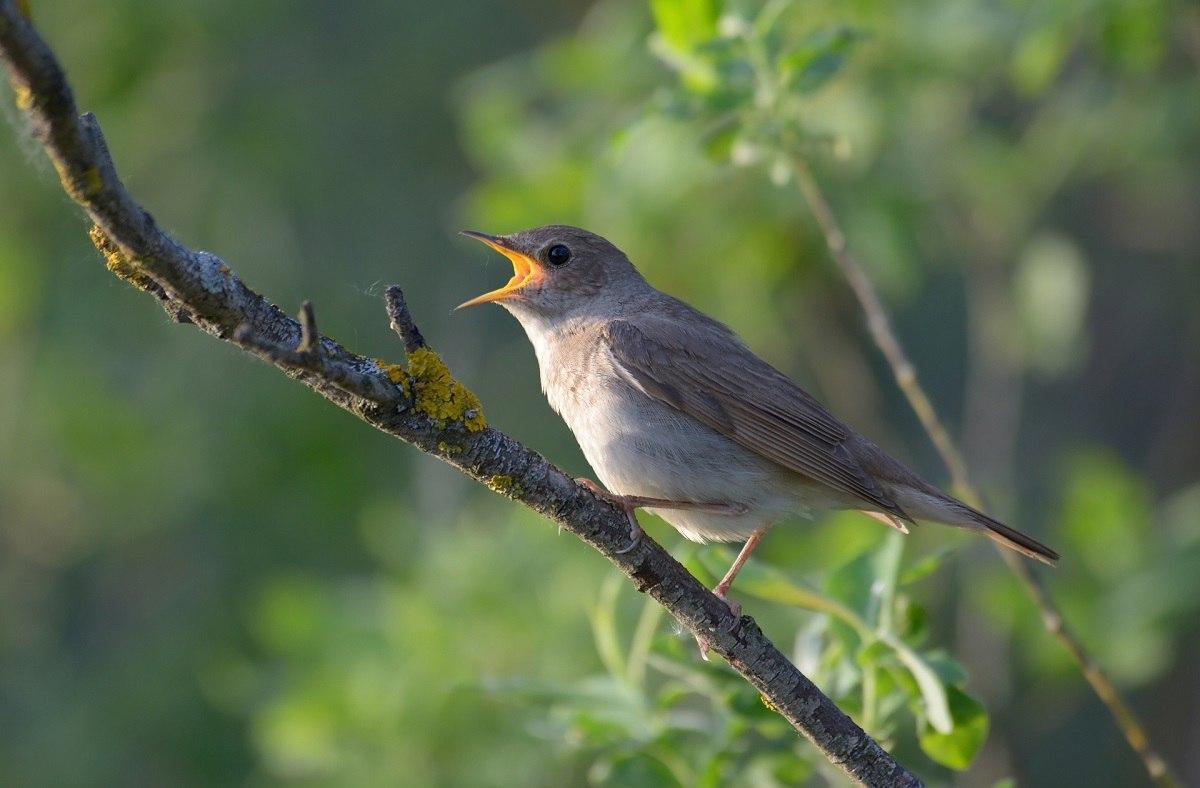 фото соловья птицы ранних лет