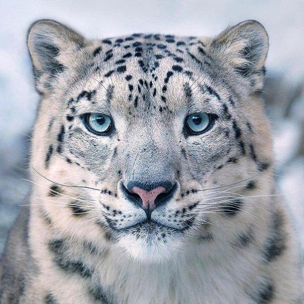 Снежный барс - красавец!