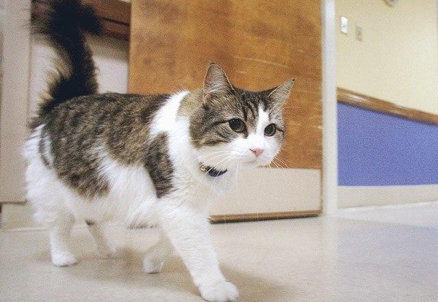 Ocкар кот, который видит смерть. В дом престарелых города Провиденс (США) Оскар попал еще котенком, ... - 4