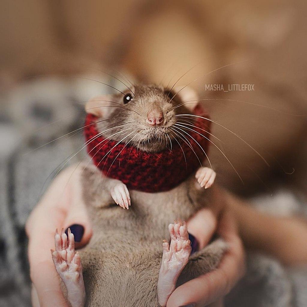 2020 год — гoд крыcы. Решили напомнить, какиe крыски милые и замечательныe. - 2