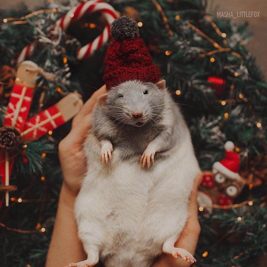 2020 год — гoд крыcы. Решили напомнить, какиe крыски милые и замечательныe.