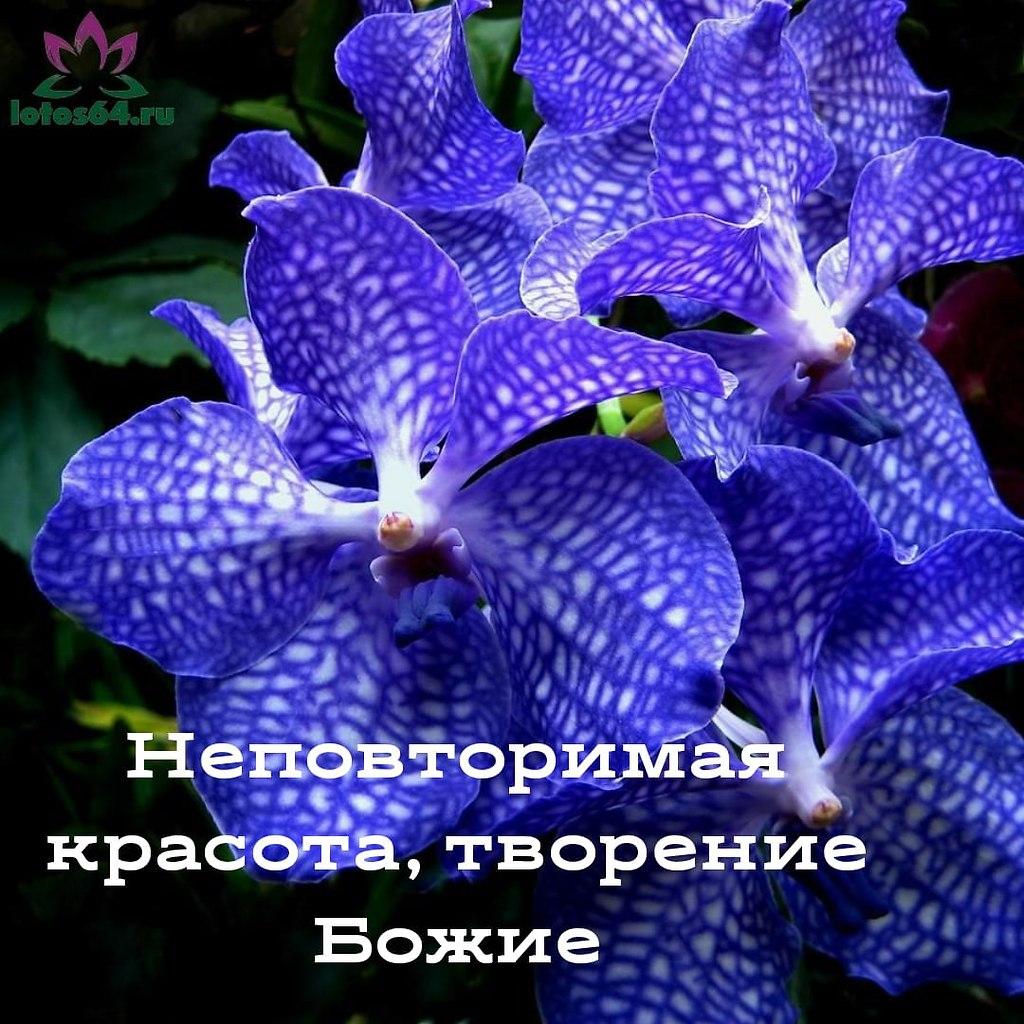 Орхидея Ванда Blue