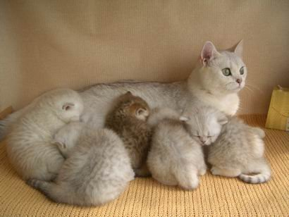 grey tiger kittens for sale